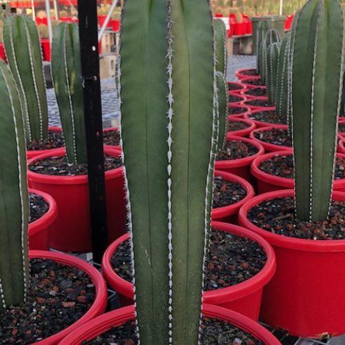 Lemaireocereus marginatus 'Mexican Fencepost'