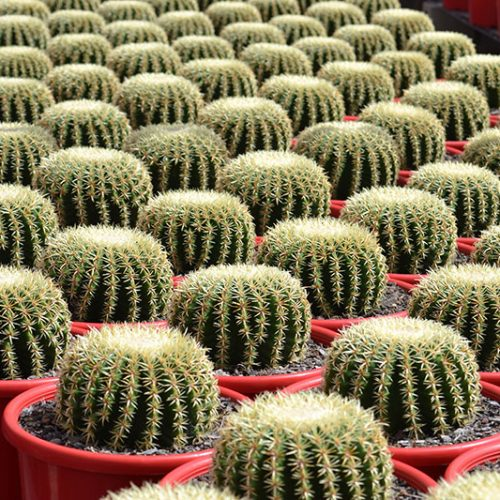 Echinocactus-Brevispinus intermediens