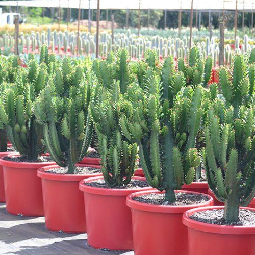 Euphorbia 'Cowboy'