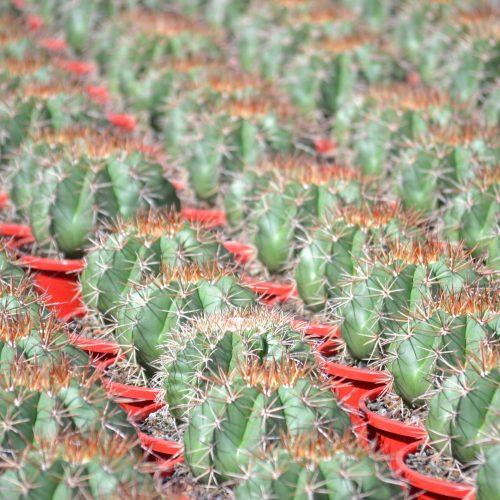 Melocactus spp.