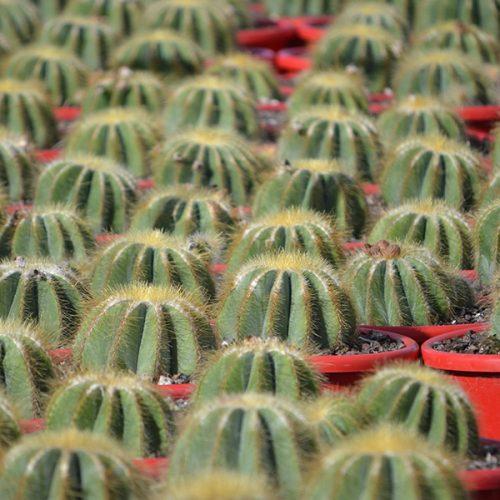 Notocactus magnifcus