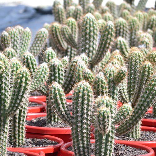 Pilocereus gounelli